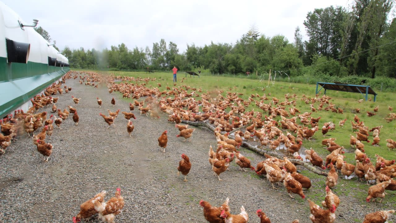 Rabbit River Farms chickens at pasture