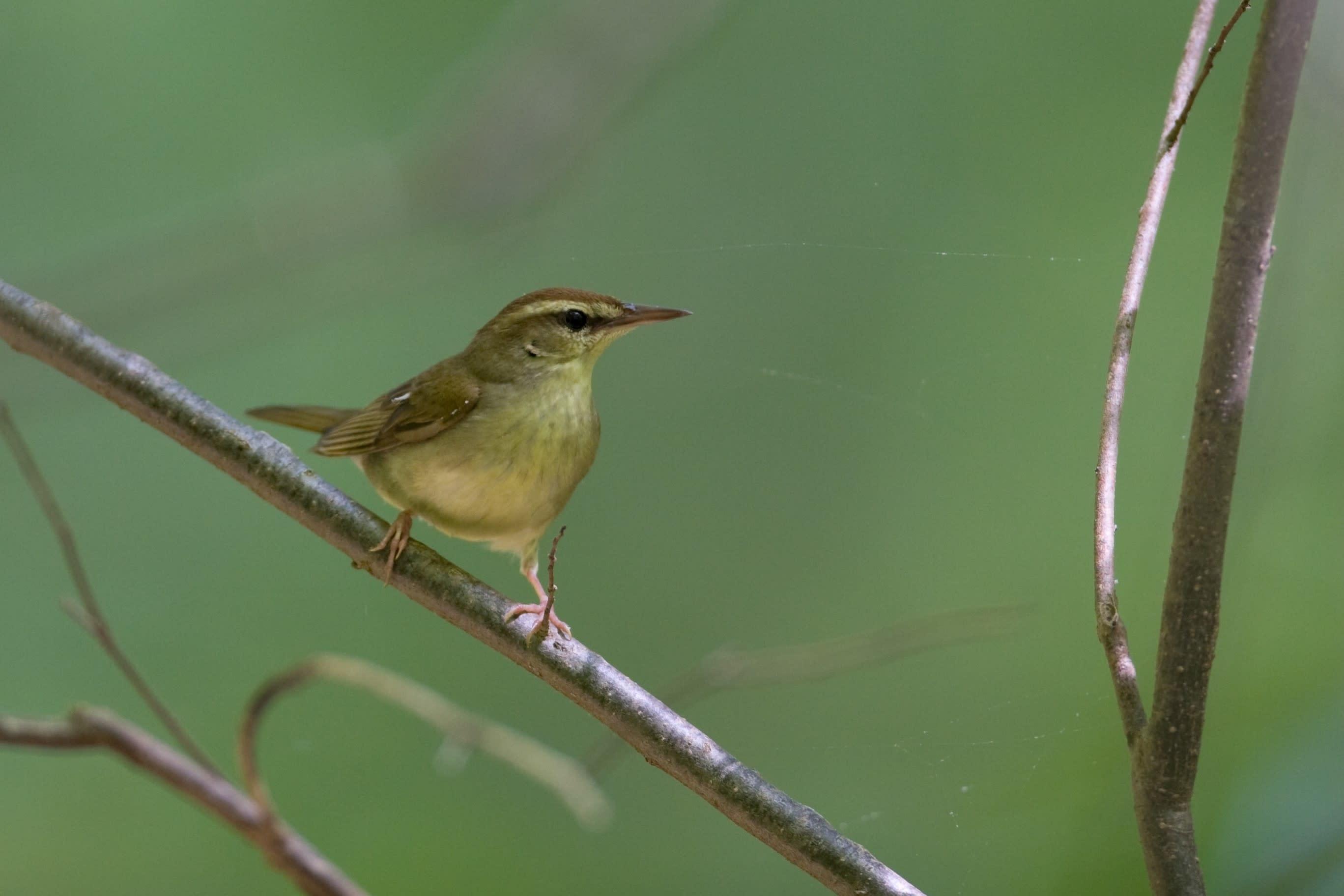 Blog - Swainson's Warbler