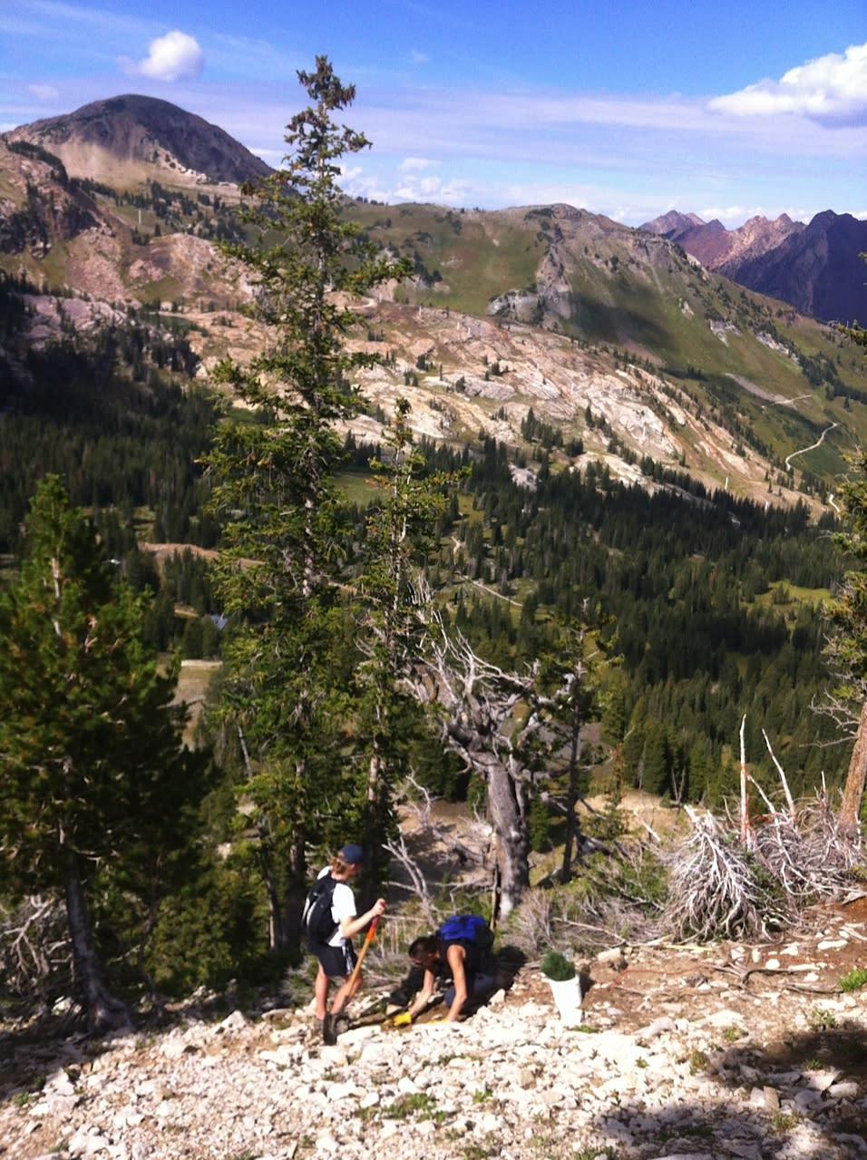 Extreme Tree Planting at Alta Ski Area. Photo by Hannah Whitney