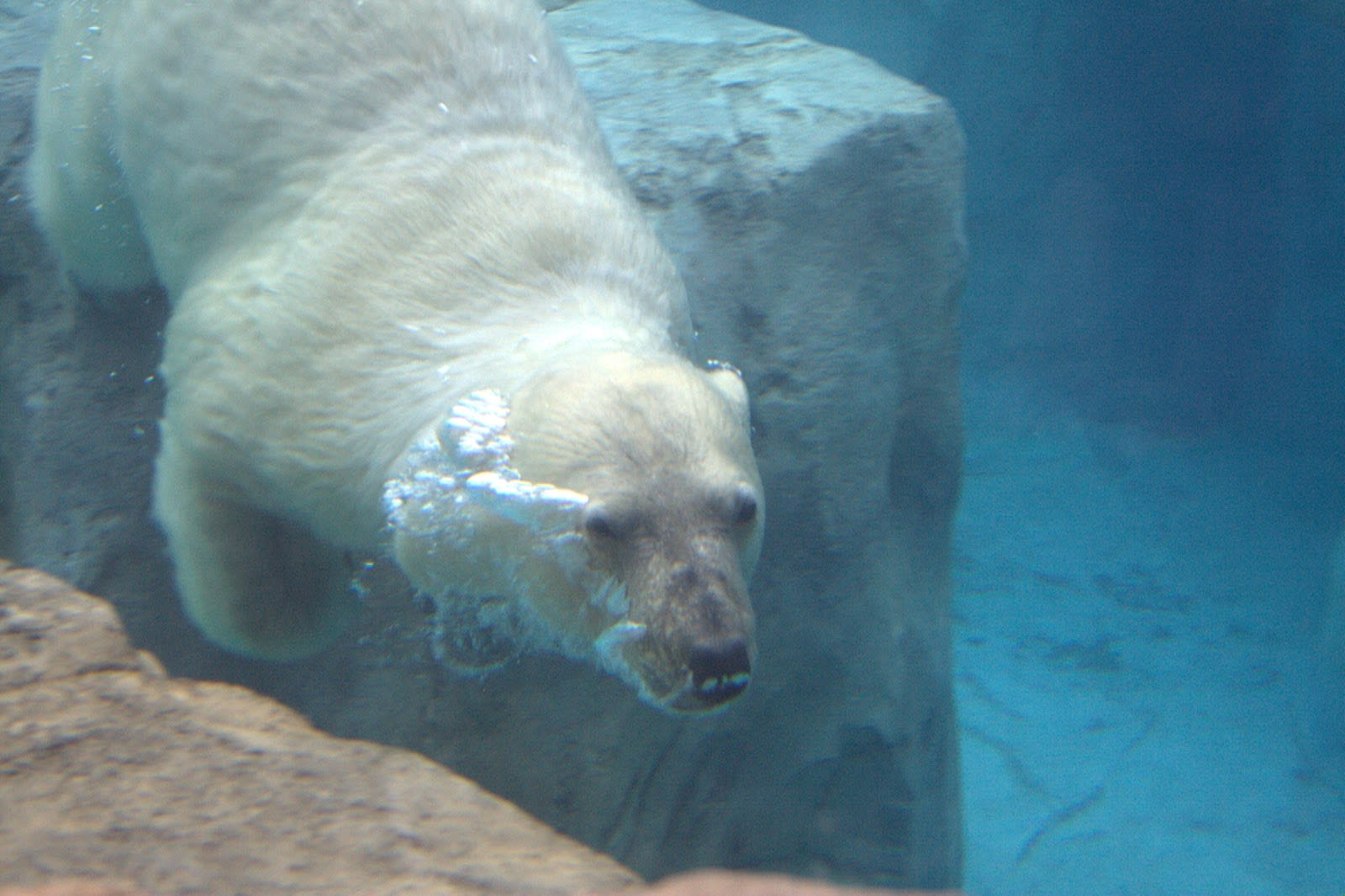 Hogle Zoo Polar Bear