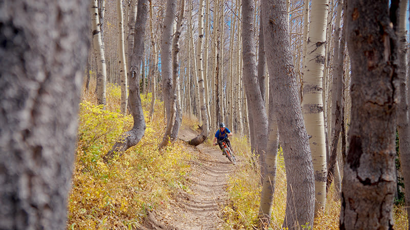 Quaking aspen on the Wasatch Crest mountain bike trail