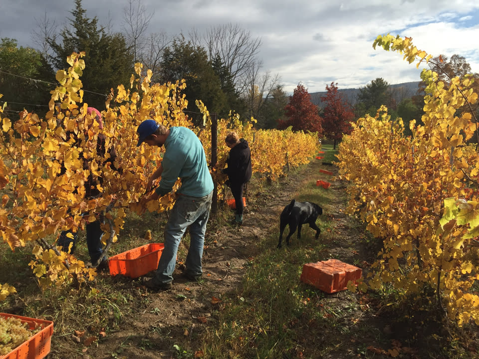 Hands-On Harvest Sweepstakes Winners in Vineyard courtesy of Heron Hill Winery
