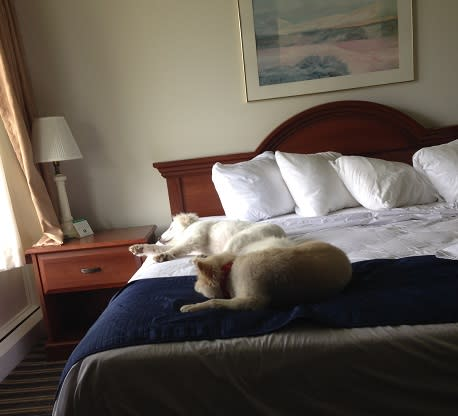 Baxter & Kosar napping on our comfy bed at Lodge on the Green