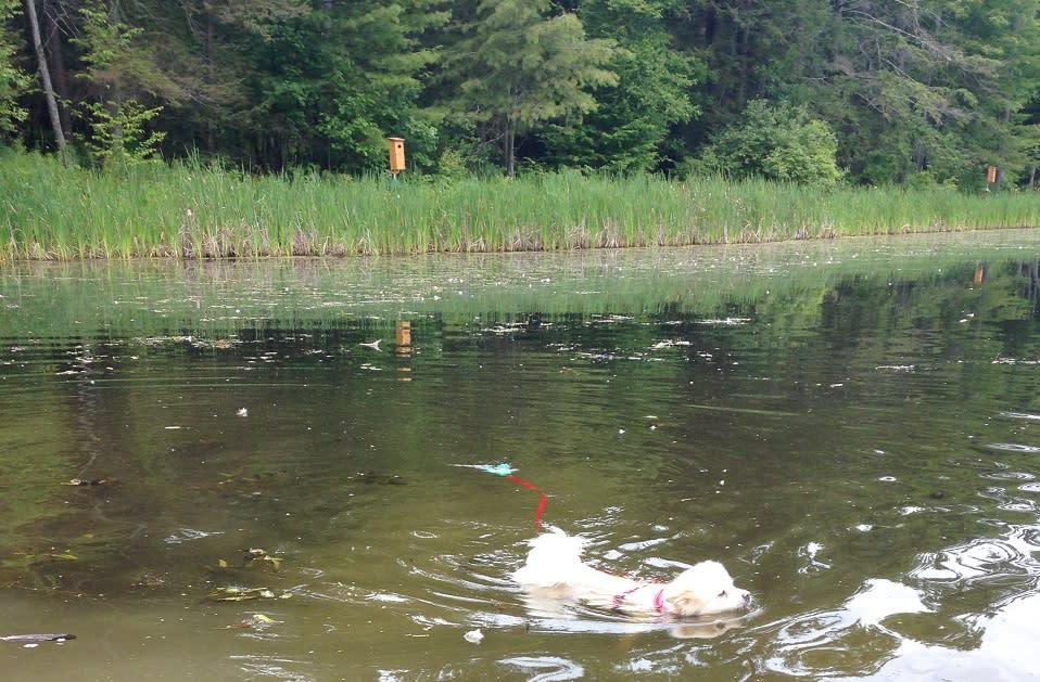Kosar cooling off in Amelia Pond at Spencer Crest Nature Center