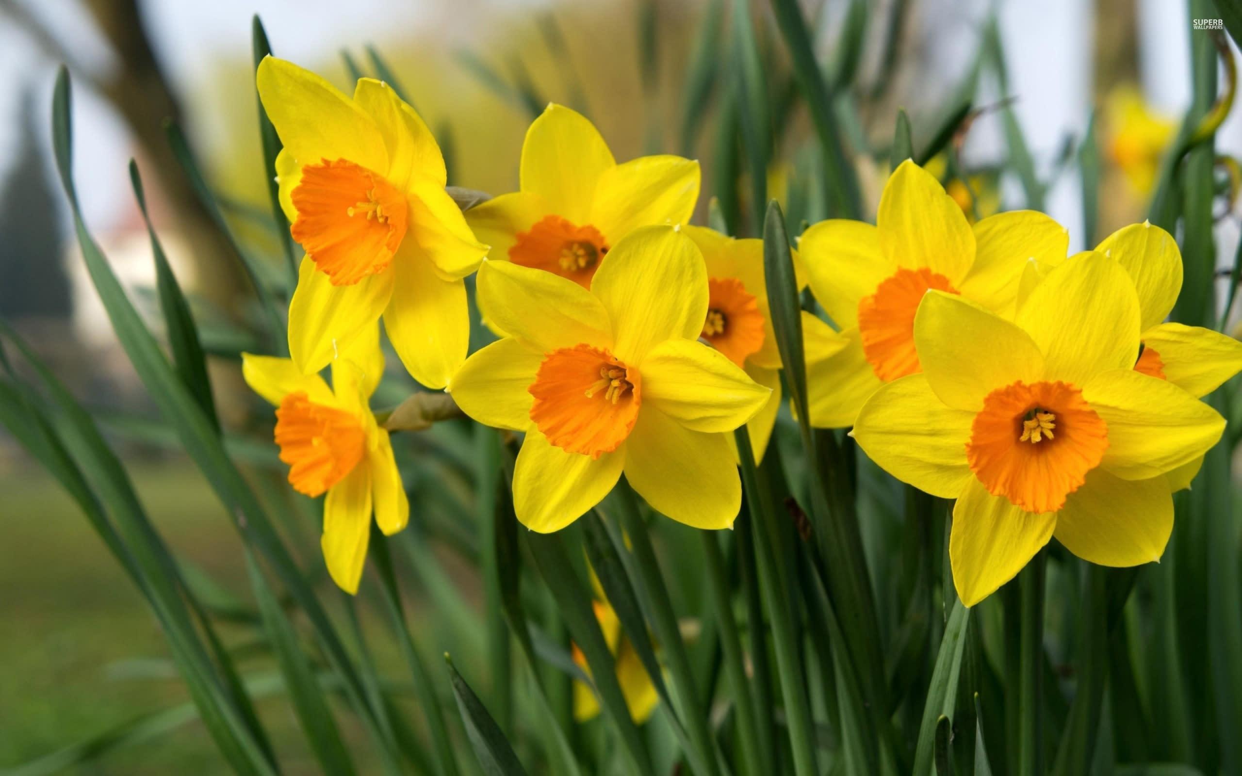 daffodils-40029-2560x1600