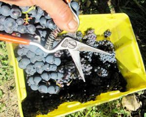 Heron Hill Grape Picking