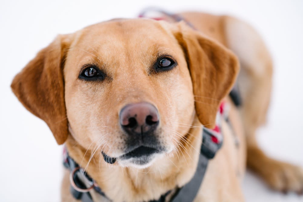 Patrol Dogs - Golden Portrait