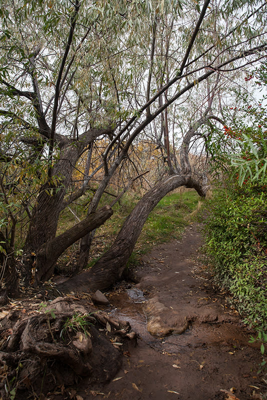 Russian olive tree where the trail crosses a stream