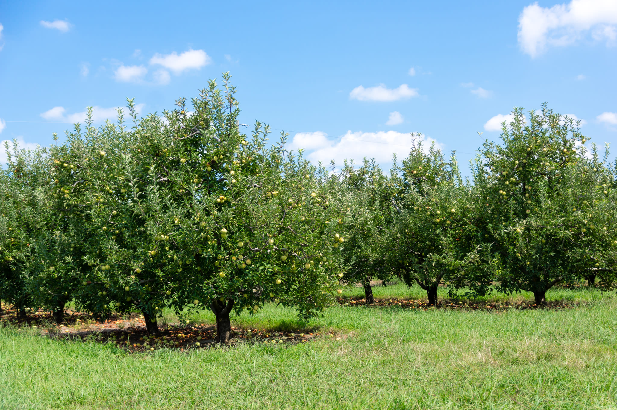 This is a photo of Scott's Orchard apple trees.