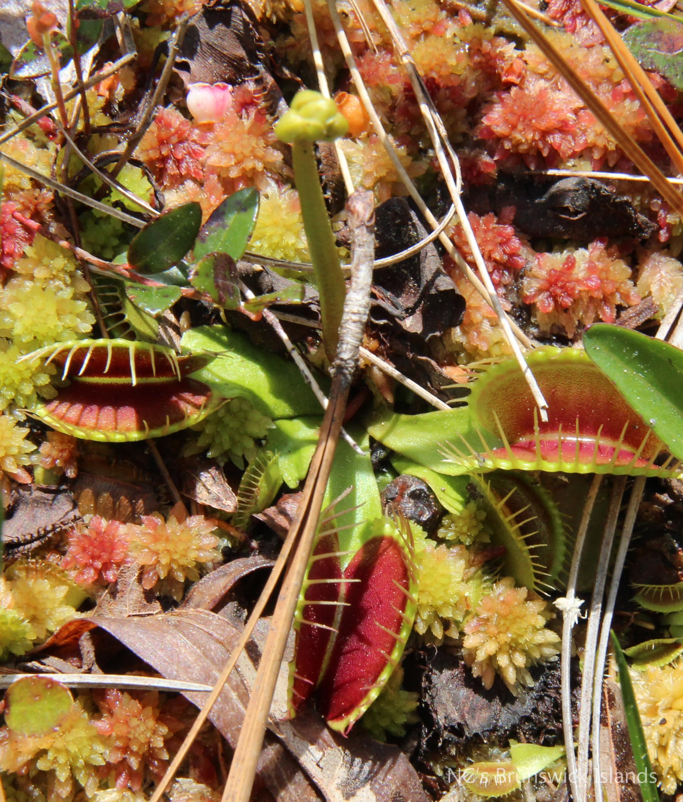 Venus Flytrap Green Swamp Nature Preserve