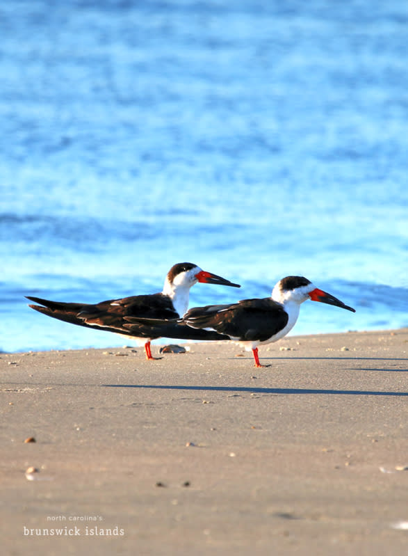 Black Skimmers - birding