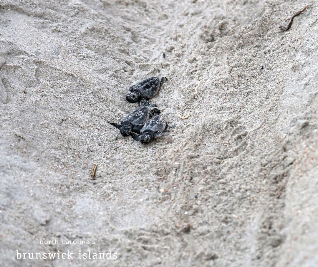 baby sea turtles