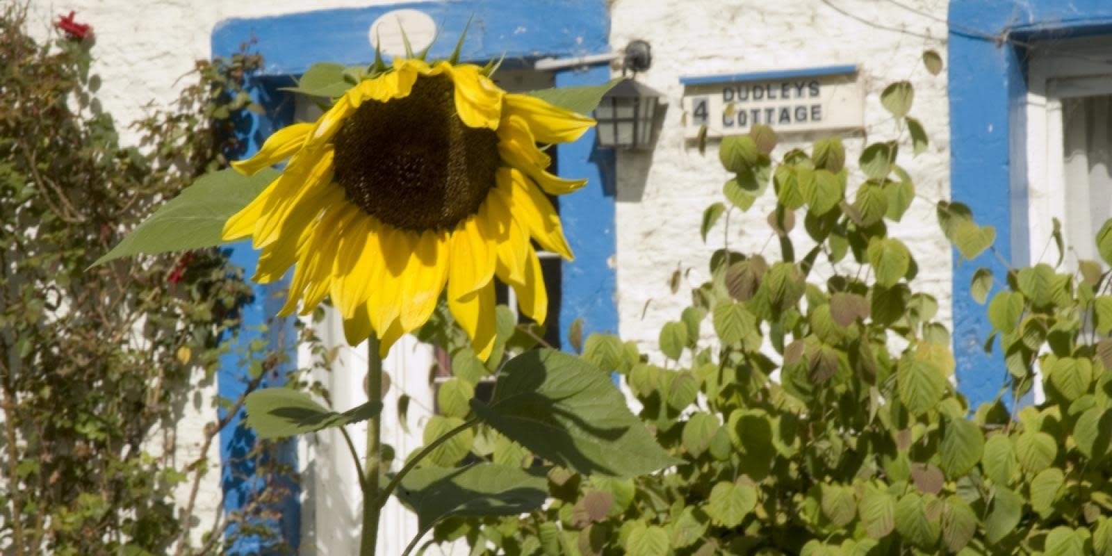 Sunflower at Dudley's Cottage