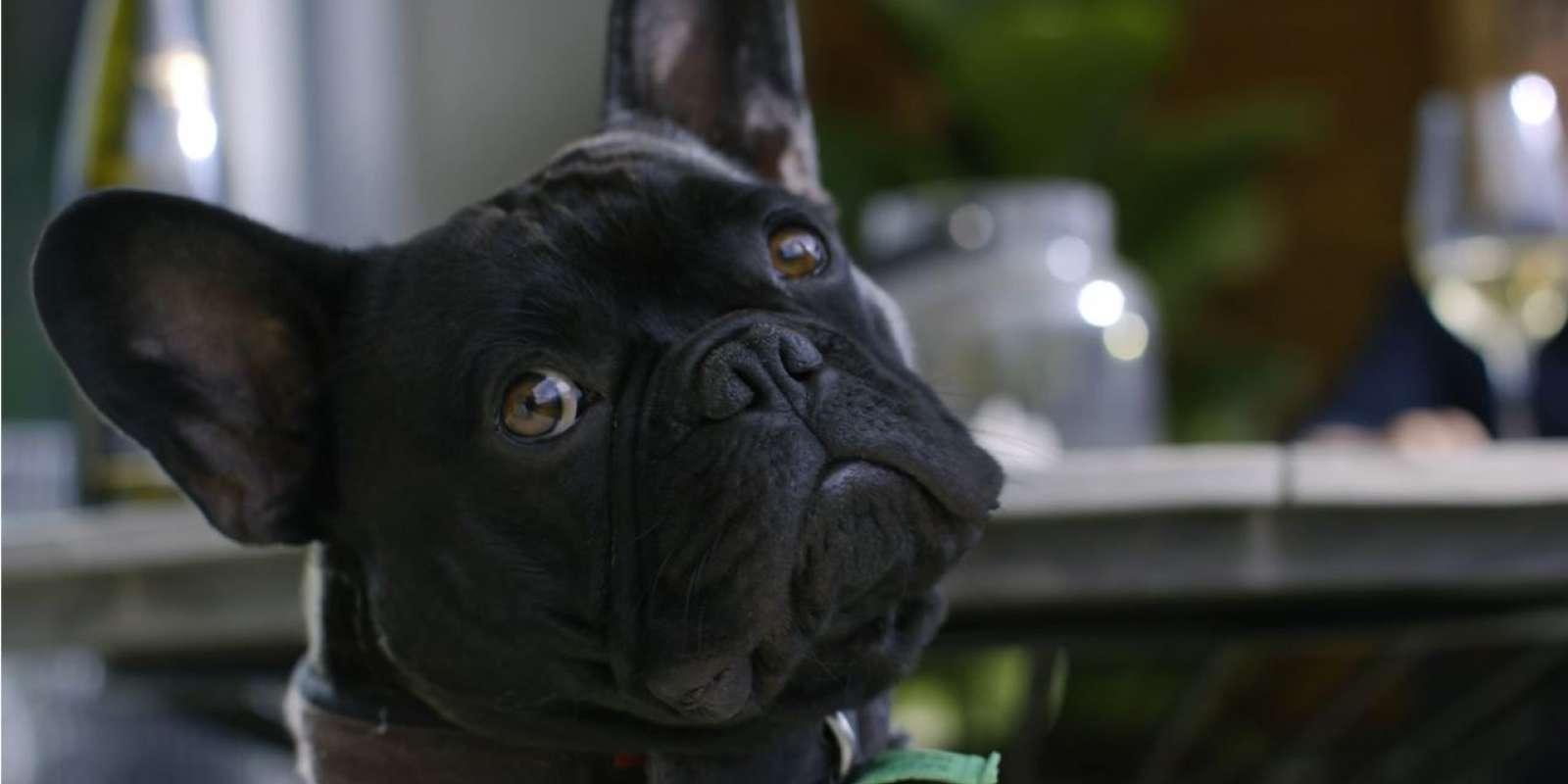 French Bulldog, Bruce