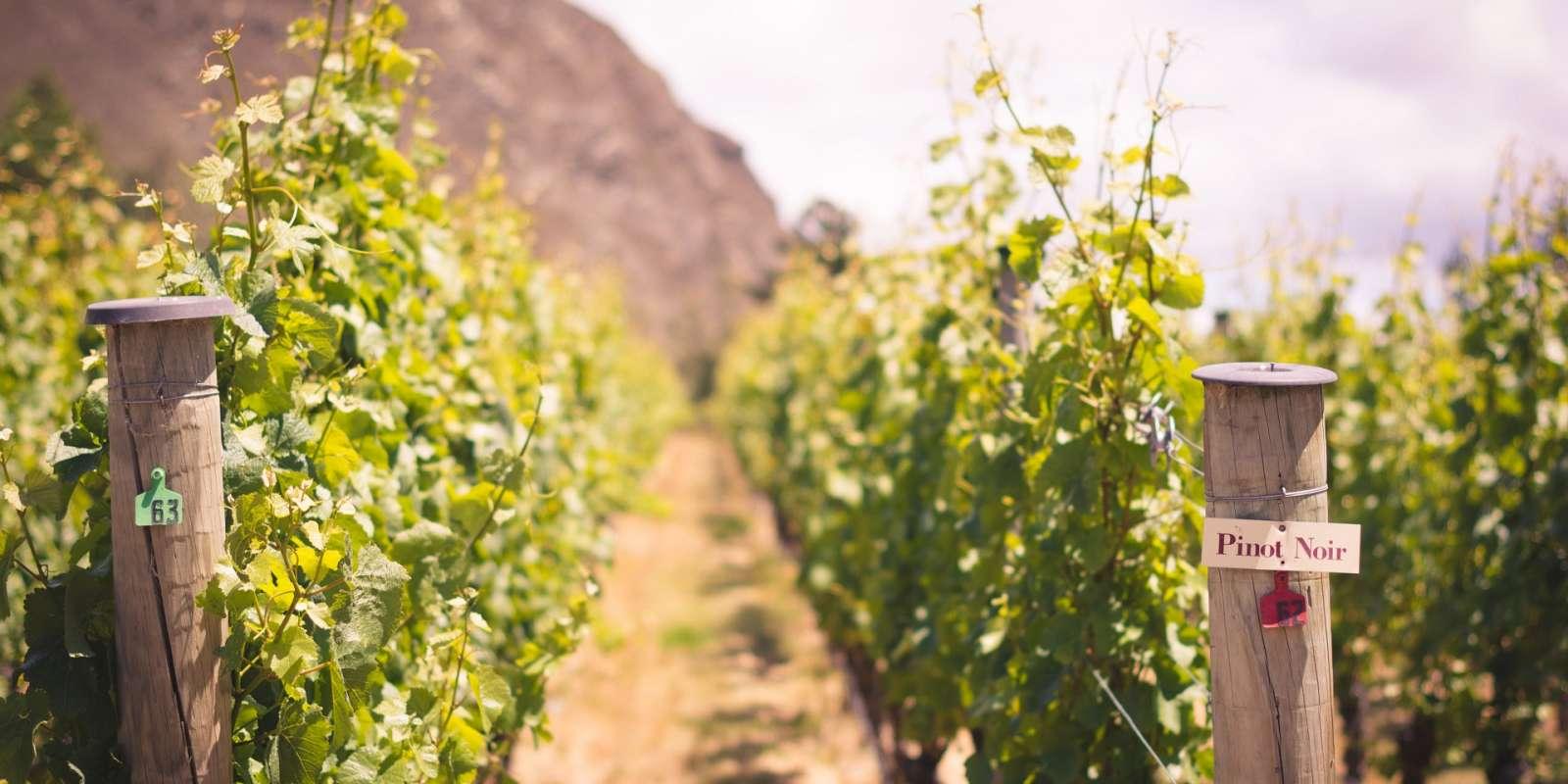 Gibbston Valley Winery Homeblock Pinot Noir Vines