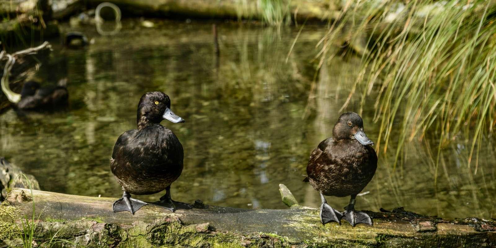 New Zealand Scaup ducks at Kiwi Birdlife Park