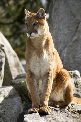 Mountain Lion Utah