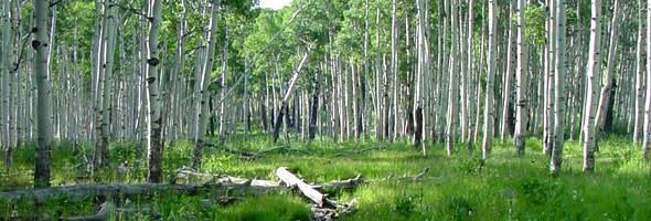 Aspen trees are prevalent in Utah's Dixie National Forest.