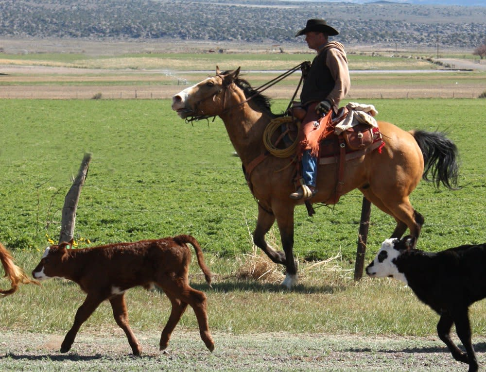 A cowboy pushes his cattle to a new range.