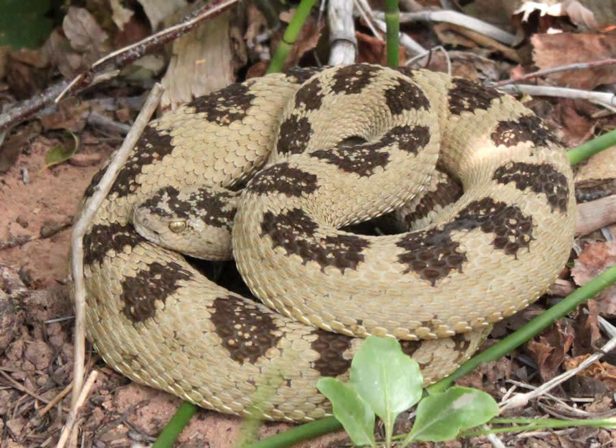 Bryce Canyon Area Rattlesnake