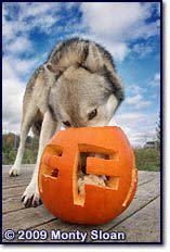 Wolf Park Pumpkin