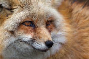 Ember, Fox at Wolf Park