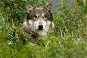 Wolfgang at Wolf Park