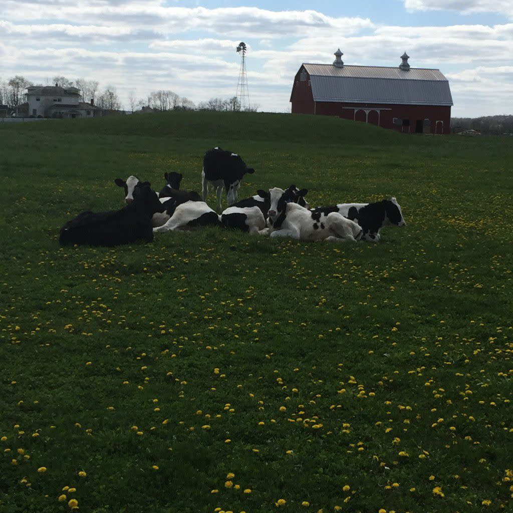 Calves at The Farm 2015.2