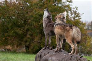 Dharma & Wolfgang Howling on a Log