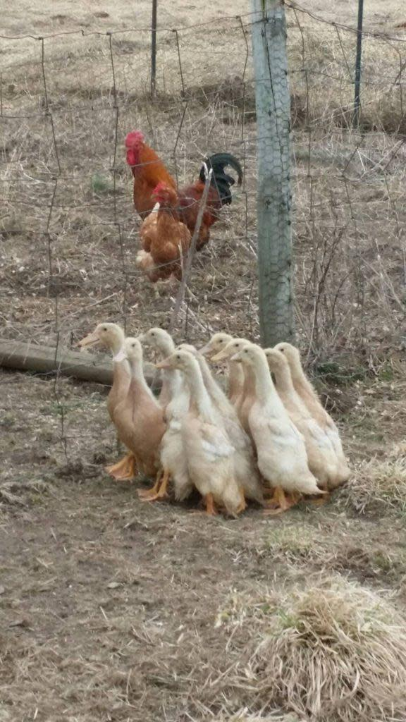 The Farm ducklins, roster and chicken