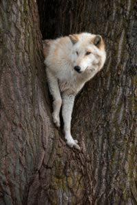 Bicho Posing in the Giant Cottonwood Tree