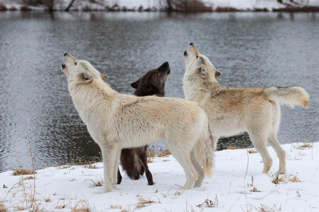 Bicho,Kanti & Fiona Howling by the Pond