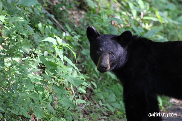 Gatlinburg Bears, Spring in Gatlinburg, Springtime in Gatlinburg, Gatlinburg, TN, Gatlinburg, Tennessee