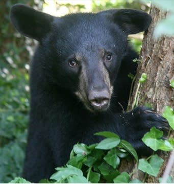 visit Gatlinburg, black bear in Gatlinburg