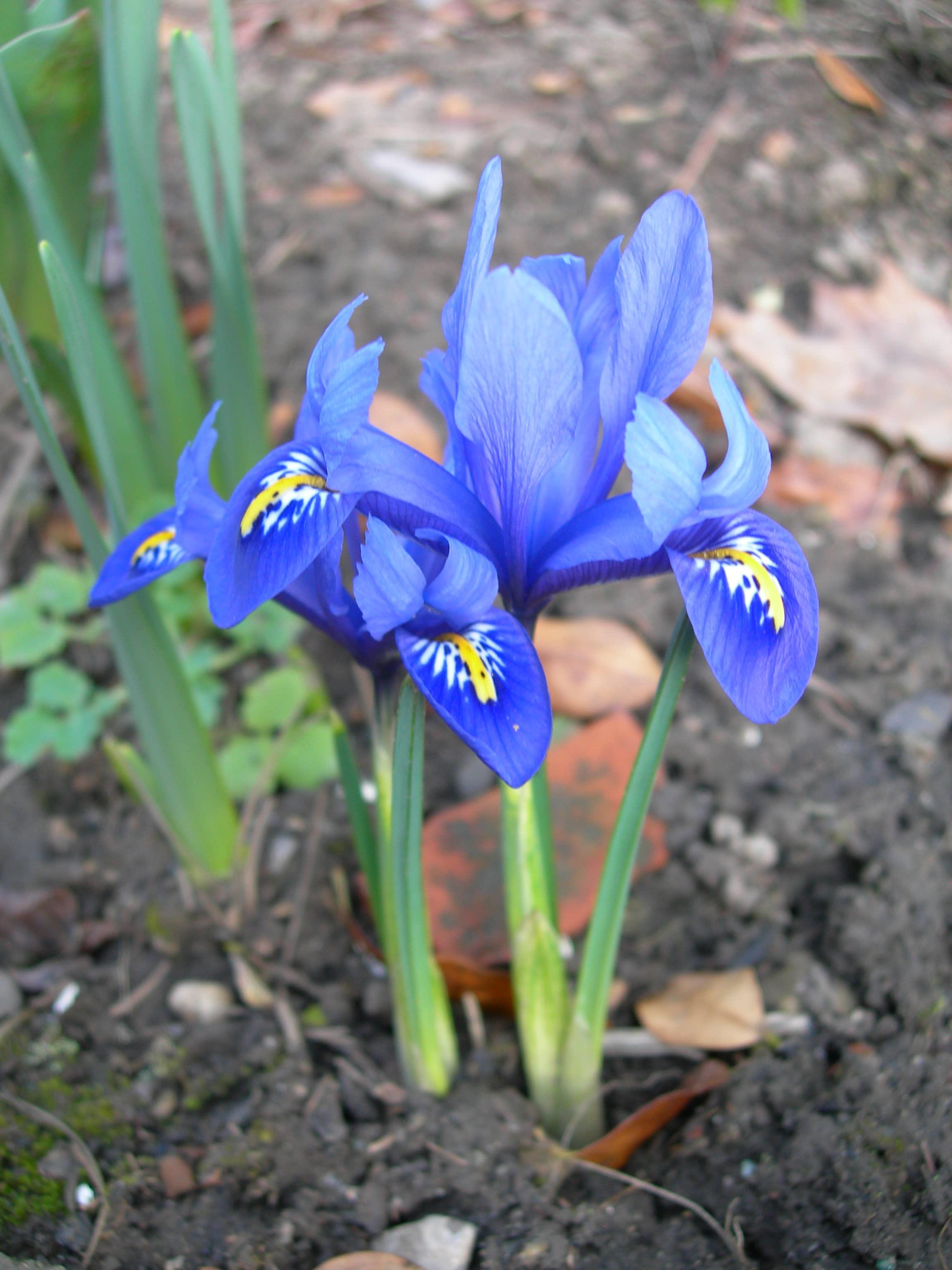 soring iris