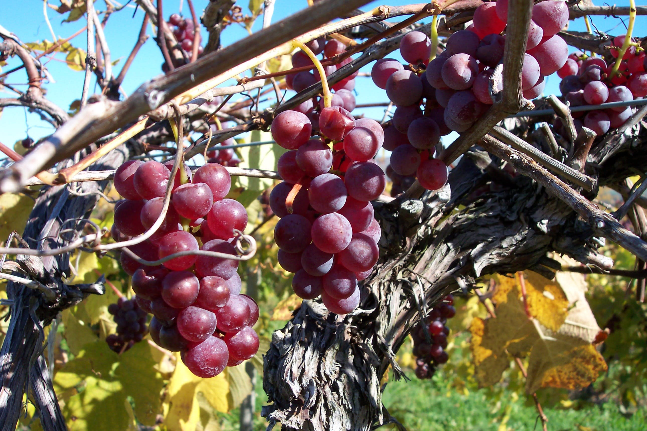 Fall Vineyard 2.jpg