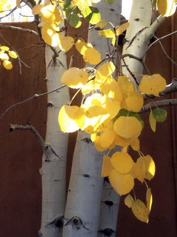 Golden aspens give notice that autumn has come to Santa Fe.