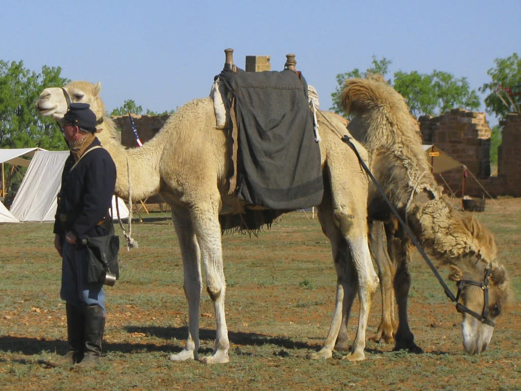 Find out why camels were brought to the Southwest. (Photo courtesy of El Rancho de las Golondrinas)