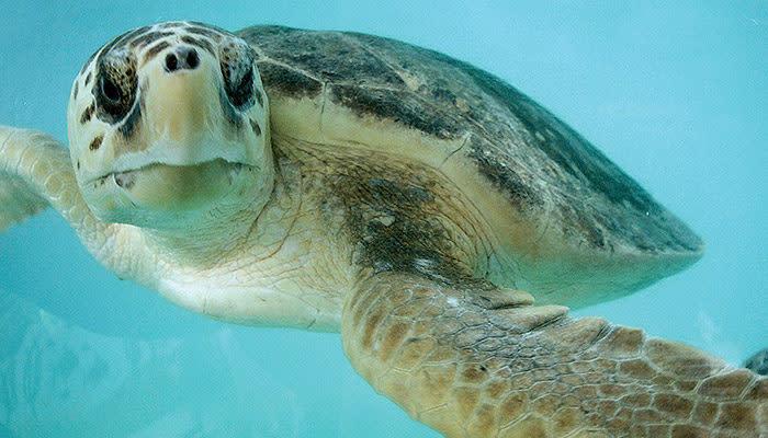 sea turtle inc