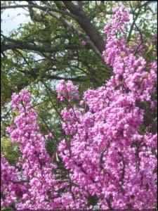 redbud_trees