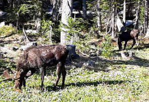 Wyoming wildlife Moose near Little Brooklyn Lake