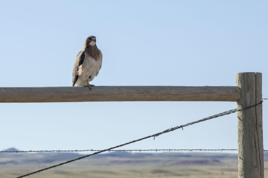 Swainson Hawk Laramie Wyoming