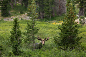 Wyoming moose in the Snowy Range while backpacking