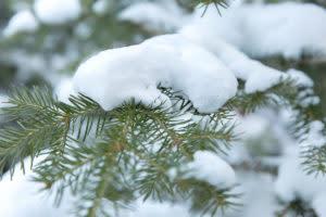 Snow branch tree