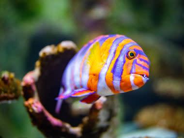 Harlequin turkfish