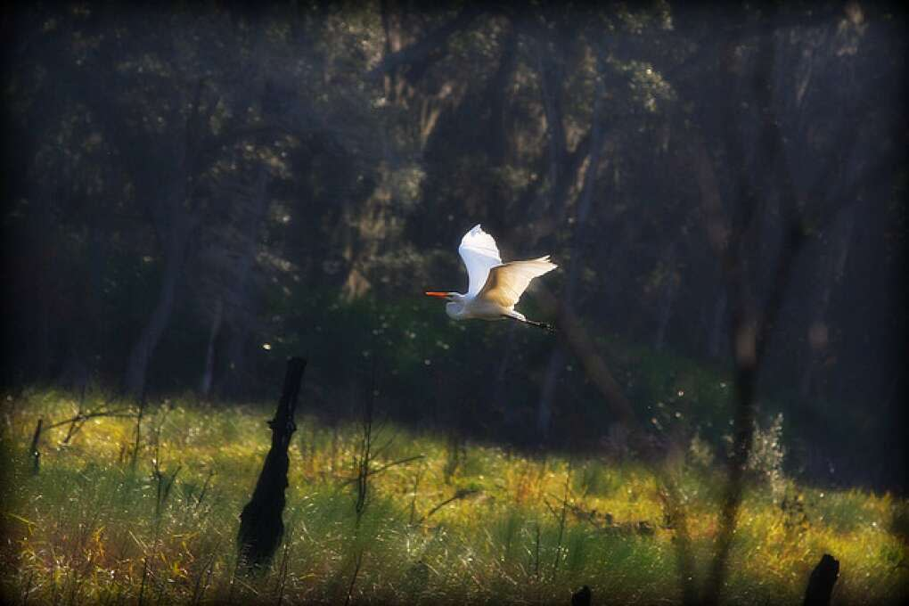 One of the beautiful wonders of nature found at the Guana Tolomato Matanzas National Research Reserve - a soft egret in flight after feeding in the Guana wetlands. Birding, Hiking, Kayaking, Picnicing and rare nature photography abounds over 73,000 acres.