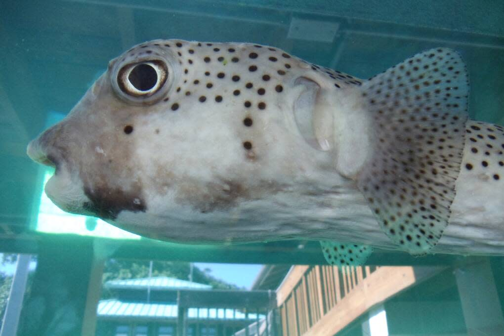 One of the aquarium residents at the Gumbo Limbo Nature Center in Boca Raton.