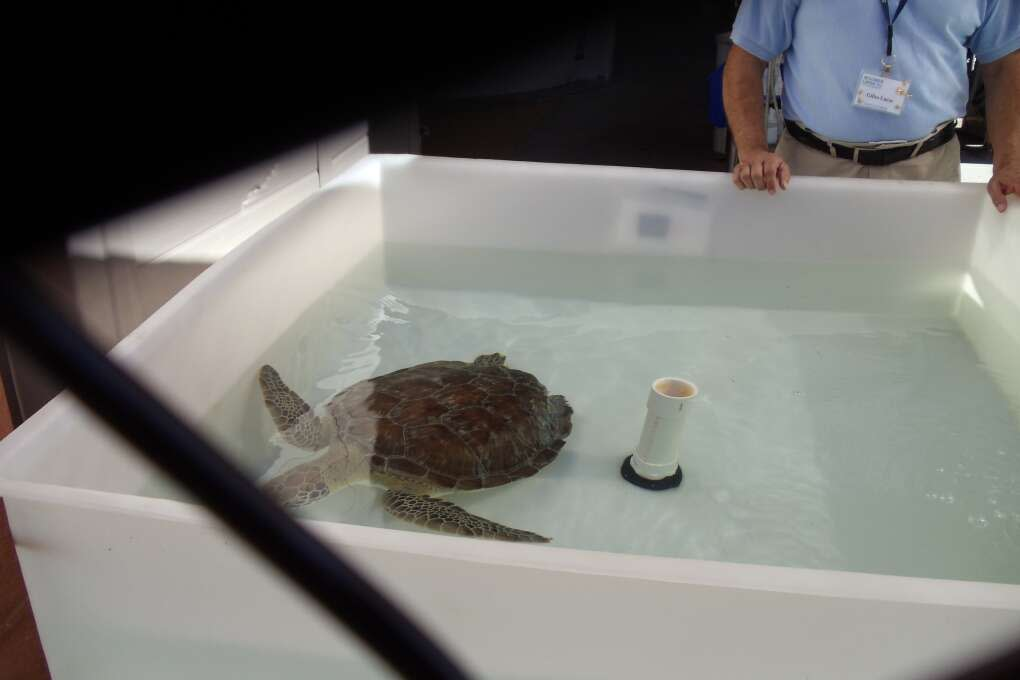 An injured sea turtle gets nursed back to health at the hospital at the Gumbo Limbo Nature Center in Boca Raton.