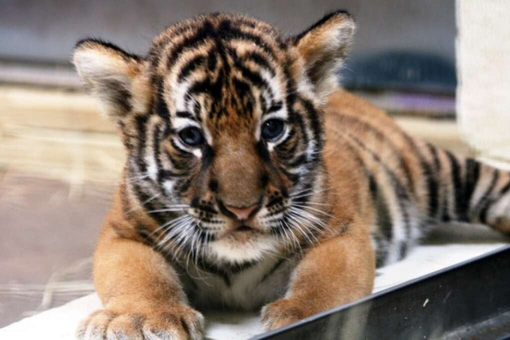 Three Malayan tiger cubs were born in May at the Palm Beach Zoo