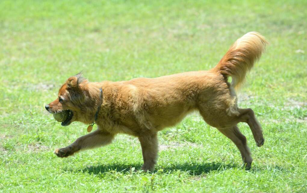 a dog runs with a ball at Destin's dog park